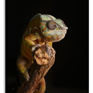 Obraz chameleon II. 100x150 cm
